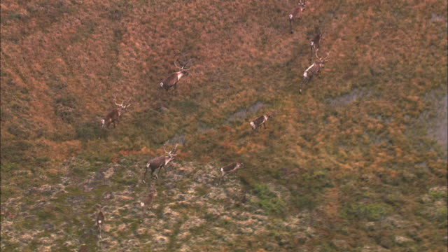 vidéos et rushes de aerial view of herd of reindeer on grassland - caribou