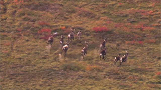 vidéos et rushes de aerial view of herd of reindeer running on grassland - caribou