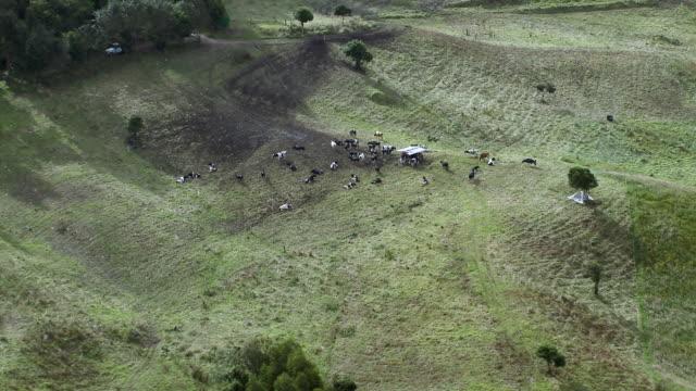 vídeos de stock, filmes e b-roll de aerial view of holstein cattle grazing in sunny hillside, zipaquira, colombia - américa do sul