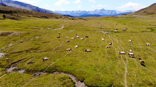 aerial view of horses grazing in nature with stunning mountain view. - livestock stock videos and b-roll footage