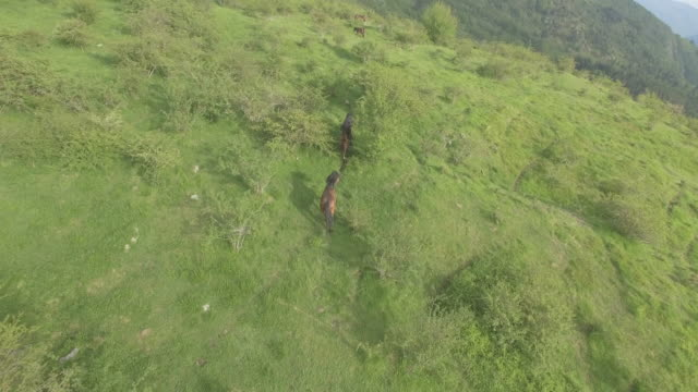stockvideo's en b-roll-footage met aerial view of horses grazing on hill - heuvel