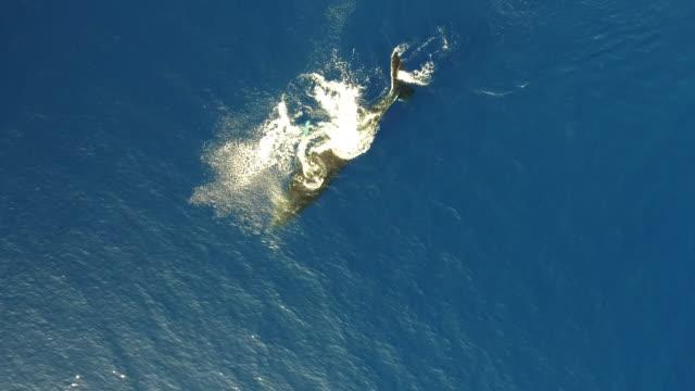aerial view of humpback whale slapping pectoral fin - buckelwal stock-videos und b-roll-filmmaterial