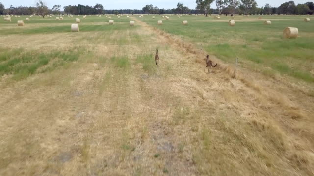 aerial view of kangaroos in straw bales field - harvesting stock videos & royalty-free footage