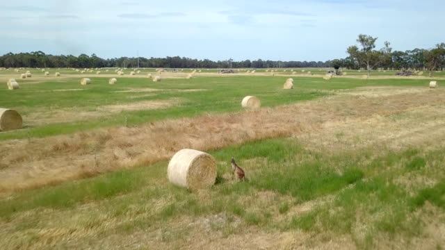 aerial view of kangaroos in straw bales field - hay stock videos and b-roll footage