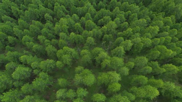 vídeos y material grabado en eventos de stock de aerial view of larch forest in the mountains - pinaceae