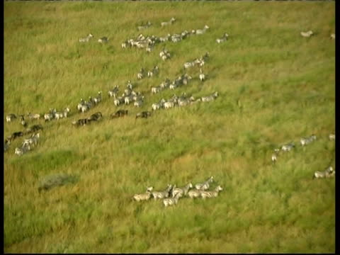 Aerial view of large herd of Zebras running in lines in Savannah grass, Serengeti, Tanzania