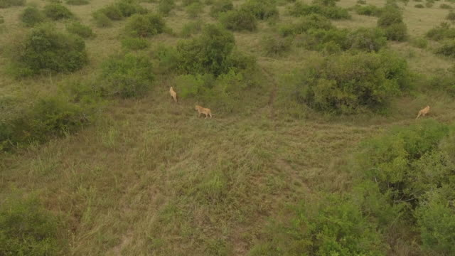 aerial view of lions in green bushland, kenya - named wilderness area stock videos & royalty-free footage