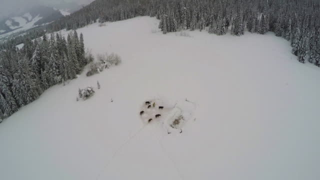 Aerial view of livestock in heavy snow.