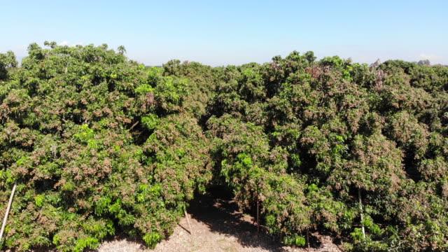 vídeos de stock e filmes b-roll de aerial view of longan field - lichia