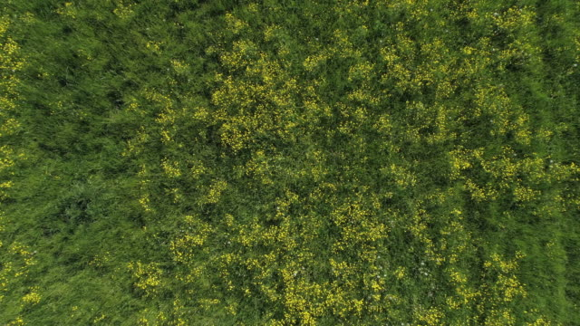 aerial view of meadow with ranunculus (a yellow flower). franconia, bavaria, germany. - ranunculus stock videos & royalty-free footage