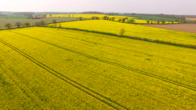 aerial view of oil seed rape or rapeseed crop in a field in bedfordshire england uk - seed stock videos & royalty-free footage