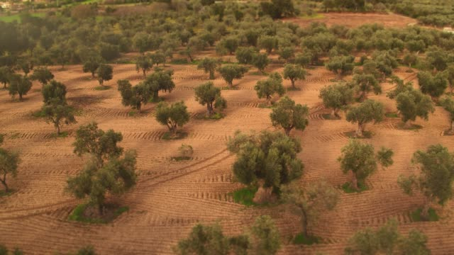 aerial view of olive tree field at sunset - mediterranean culture stock videos & royalty-free footage
