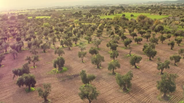 vídeos de stock e filmes b-roll de aerial view of olive tree field - campo