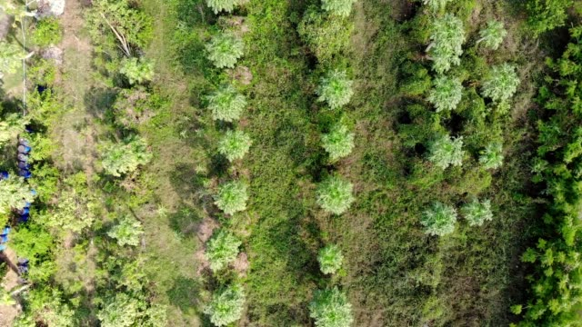 aerial view of papaya trees growing in plantation - papaya stock videos & royalty-free footage