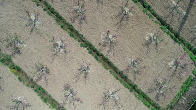 aerial view of peach blossom forest - albero da frutto video stock e b–roll