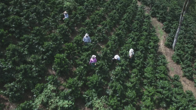 aerial view of people collecting coffee beans in a coffee farm - colombia stock videos & royalty-free footage