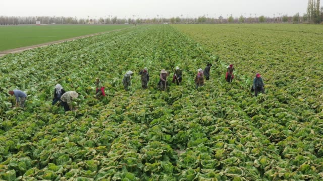 aerial view of people harvest chinese cabbage on october 23, 2020 in bortala mongol autonomous prefecture, xinjiang uygur autonomous region of china. - crucifers stock videos & royalty-free footage