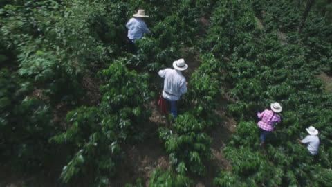 vídeos y material grabado en eventos de stock de vista aérea de la gente en un café de la cosecha que recoge habas - cosechar