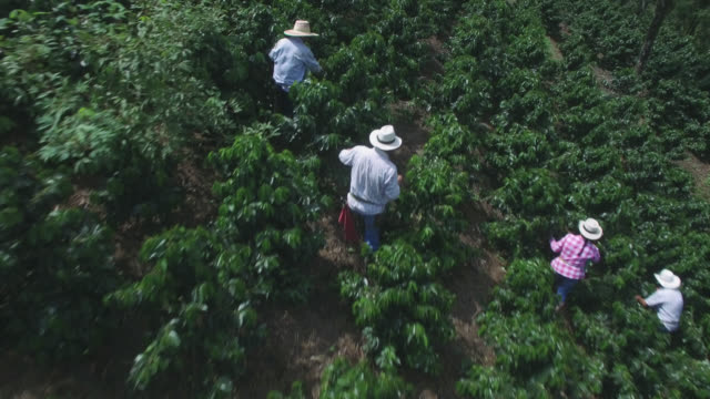 aerial view of people in a coffee harvest collecting beans - produttore video stock e b–roll