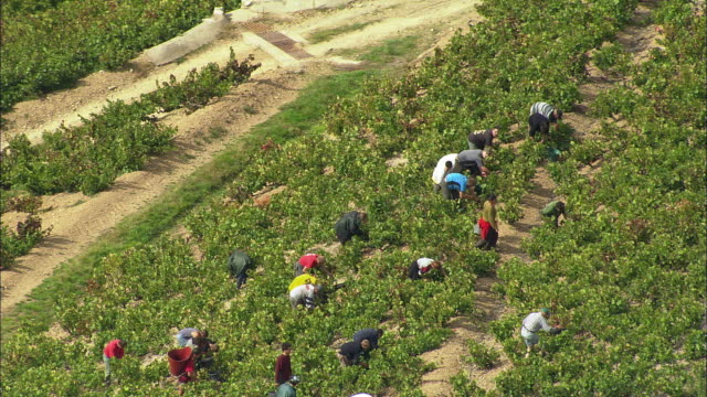ws aerial view of people working in vineyard, beaujeu, rhone-alpes, france - rhone alpes stock videos & royalty-free footage