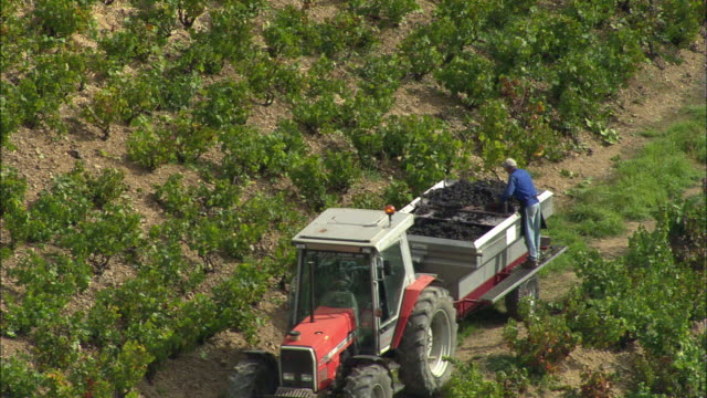 WS Aerial view of people working in vineyard, Beaujeu, Rhone-Alpes, France