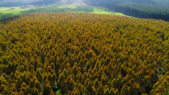 aerial view of pine forest in waikato region, new zealand. - industria forestale video stock e b–roll