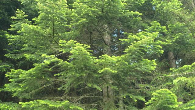 luftbild von kiefernwäldern - schwenk nach oben stock-videos und b-roll-filmmaterial