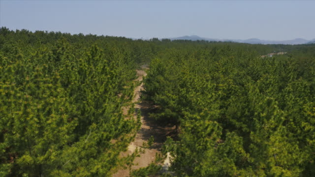 aerial view of pine trees in anmyeondo island recreational forest (popular tourist destinations) - kieferngewächse stock-videos und b-roll-filmmaterial