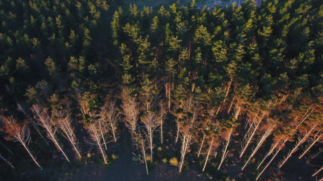 aerial view of pine woodland. - pine stock videos & royalty-free footage