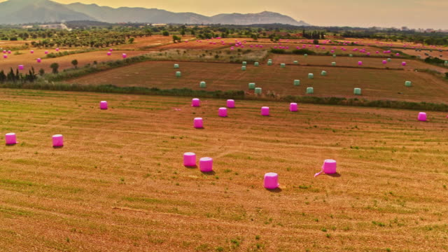 Aerial view of pink haybales on a harvested field
