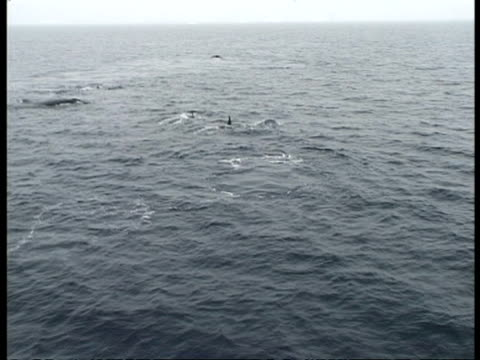aerial view of pod of killer whales surfacing and diving, antarctica - surfacing stock videos & royalty-free footage
