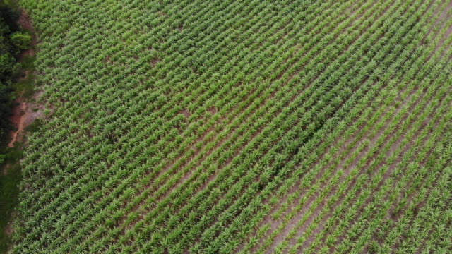 aerial view of preparation for sugar cane plantation, which is the economic crop of thailand.agricultural industrial - fertilizer stock videos & royalty-free footage