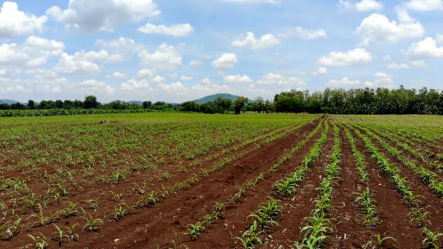 vídeos de stock, filmes e b-roll de vista aérea de preparação para a plantação de cana de açúcar, que é a cultura económica de thailand.agricultural industrial - sugar cane