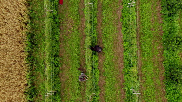 aerial view of raspberries field. people work on the raspberry plantation - blueberry stock videos & royalty-free footage