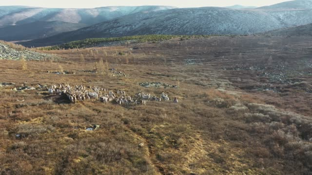 aerial view of reindeer herd in mongolia - herd stock videos & royalty-free footage