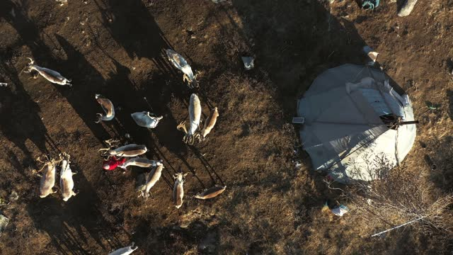 aerial view of reindeer herd near the teepee  in mongolia - herding stock videos & royalty-free footage