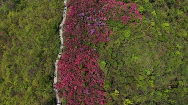 aerial view of rhododendrons bloom out at tianmazhai scenic area on april 25, 2020 in huanggang, hubei province of china. - bush stock videos & royalty-free footage