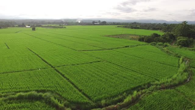 vidéos et rushes de vue aérienne de champs rizière - pinacée