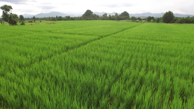 aerial view of rice paddy - multicopter stock videos & royalty-free footage