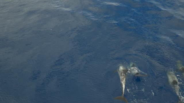 vidéos et rushes de aerial view of risso dolphins swimming in calm ocean, slow motion - dauphin tacheté