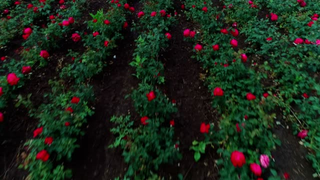 aerial view of rose fields. the abundance of the decorative rose is in its peak. - rose stock videos & royalty-free footage