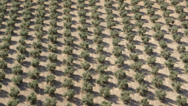 aerial view of rows of olive trees in an olive plantation