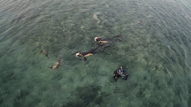 aerial view of sea lions playing with divers in patagonia - aquatic mammal stock videos & royalty-free footage