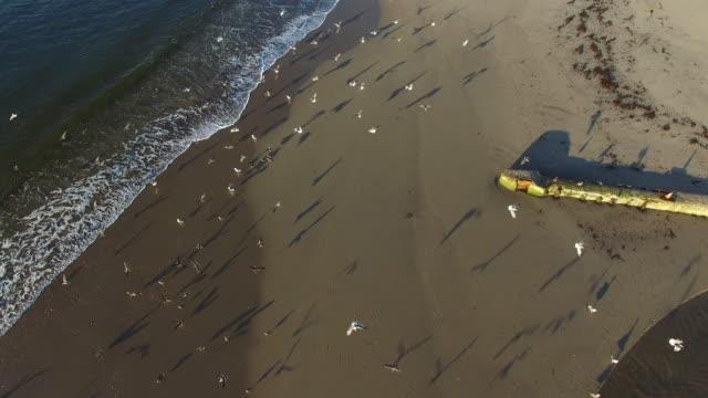 aerial view of seagulls flying over beach during sunset, flock of birds moving on shore - santa cruz, california - カリフォルニア州サンタクルーズ点の映像素材/bロール