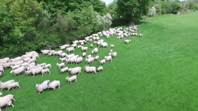 aerial view of sheep being herded by a sheepdog - valla djur bildbanksvideor och videomaterial från bakom kulisserna