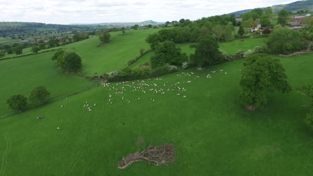 aerial view of sheep being herded into a pen - herding stock-videos und b-roll-filmmaterial