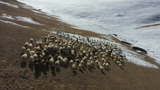 aerial view of sheep herd in mongolia - flock of sheep stock videos & royalty-free footage