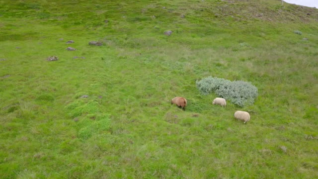 aerial view of sheep on the pasture at iceland - flock of sheep stock videos and b-roll footage