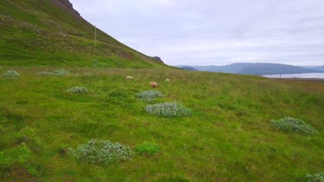 vídeos y material grabado en eventos de stock de vista aérea de ovejas en el pasto en islandia - estepa