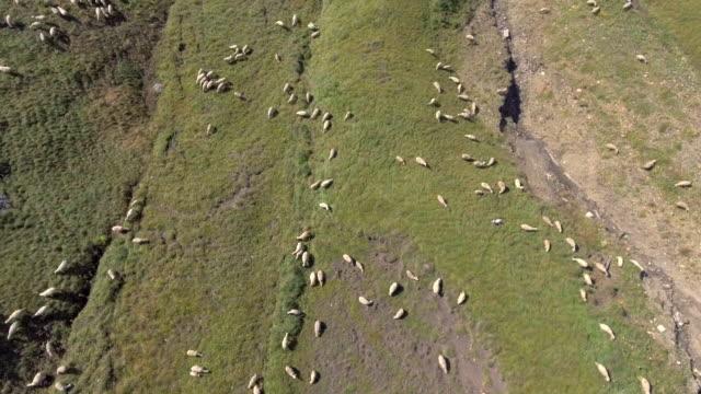 vidéos et rushes de vue aérienne de moutons dans le champ - nouvelle zélande